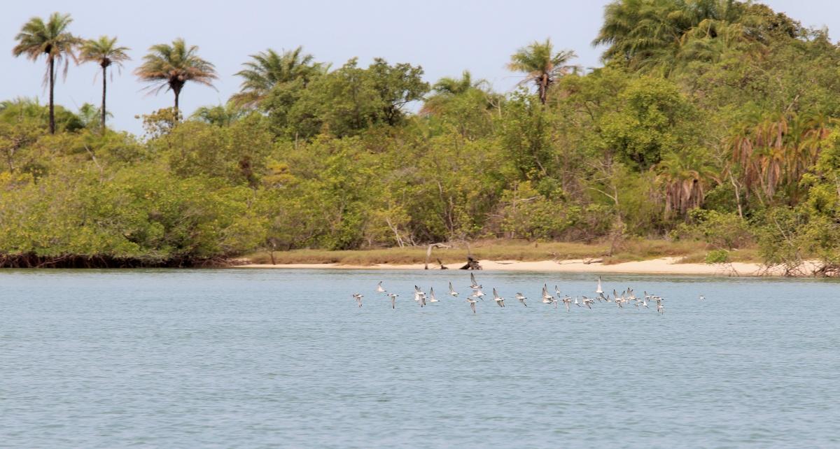 Pfuhlschnepfen im Bijagós-Archipel