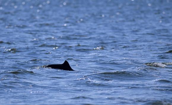 Schweinswal in der Nordsee