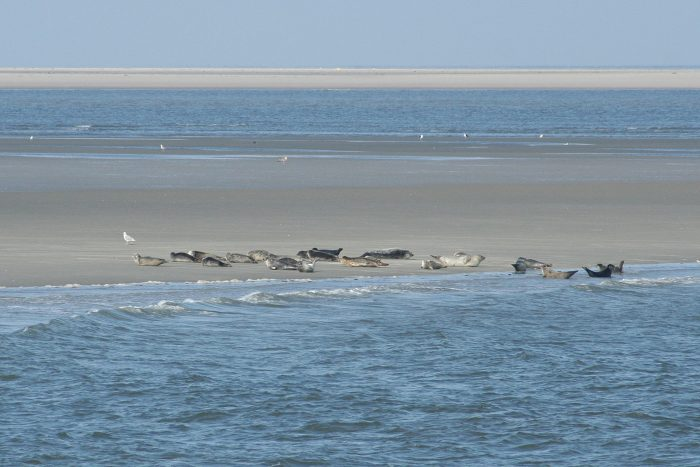 Seehunde ruhen auf einer Seehundsbank
