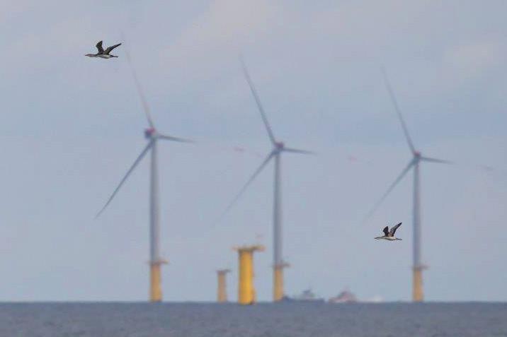 Sterntaucher vor Offshore-Windkraftanlagen