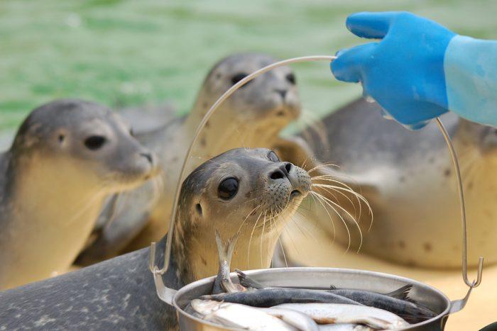 Fütterung in der Seehundstation Norddeich