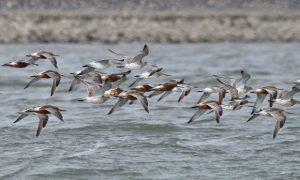 """Pfuhlschnepfen sind die """"Logo-Vögel"""" der Zugvogeltage im Nationalpark Niedersächsisches Wattenmeer"""