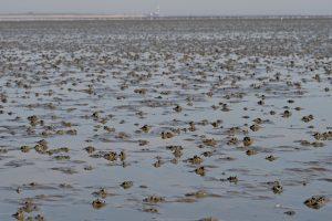 Watt bei Niedrigwasser mit Wattwurm-Haufen