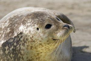 Seehund auf einer Sandbank