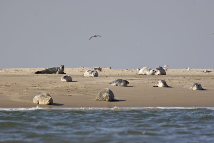 Seehunde und Kegelrobben auf einer Sandbank