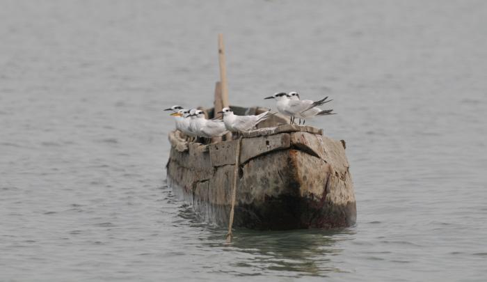 Brandseeschwalben-Einbaum. Foto Gundolf Reichert