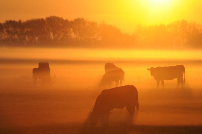 Kühe auf der Weide im Morgennebel
