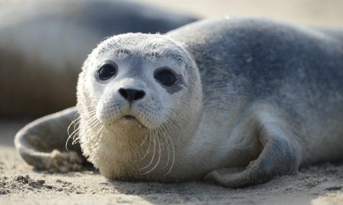 Junger Seehund im Sand