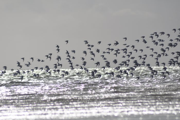 Vogelschwarm über dem Meer