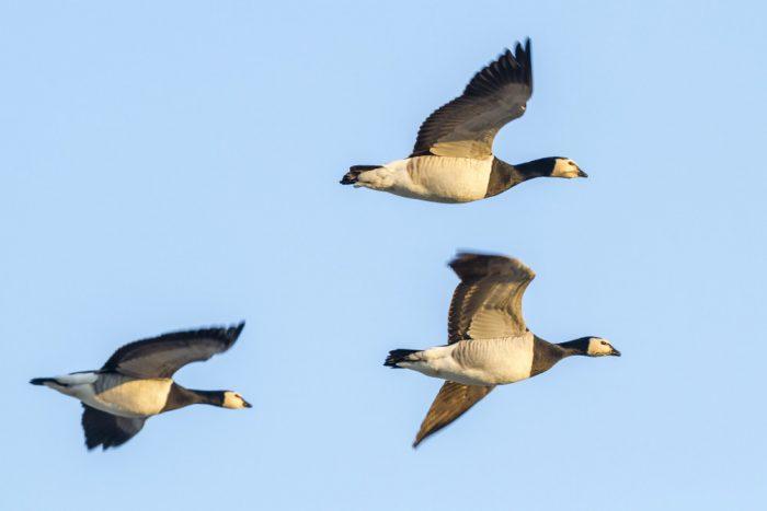 Drei fliegende Nonnengänse