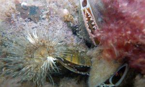 Miesmuscheln (Mitte) in einer Unterwasser-Lebensgemeinschaft.