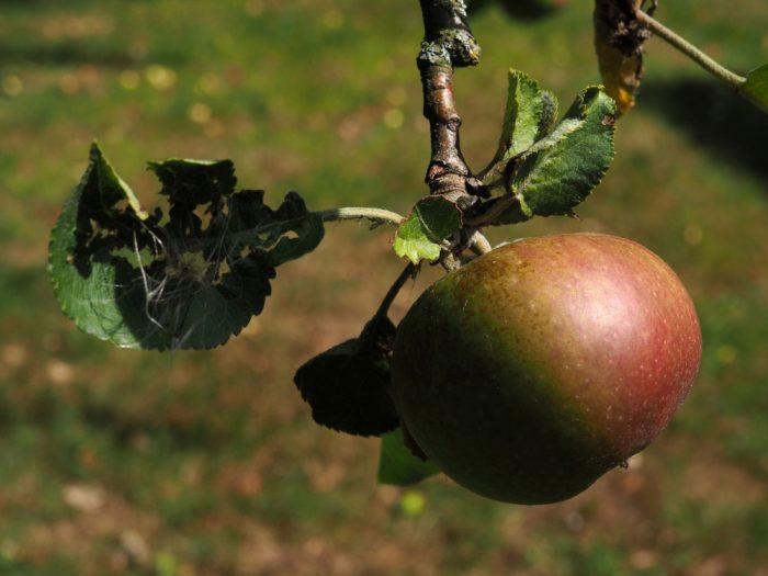Ein Boskop-Apfel