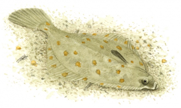 Die Scholle (Pleuronectes platessa)