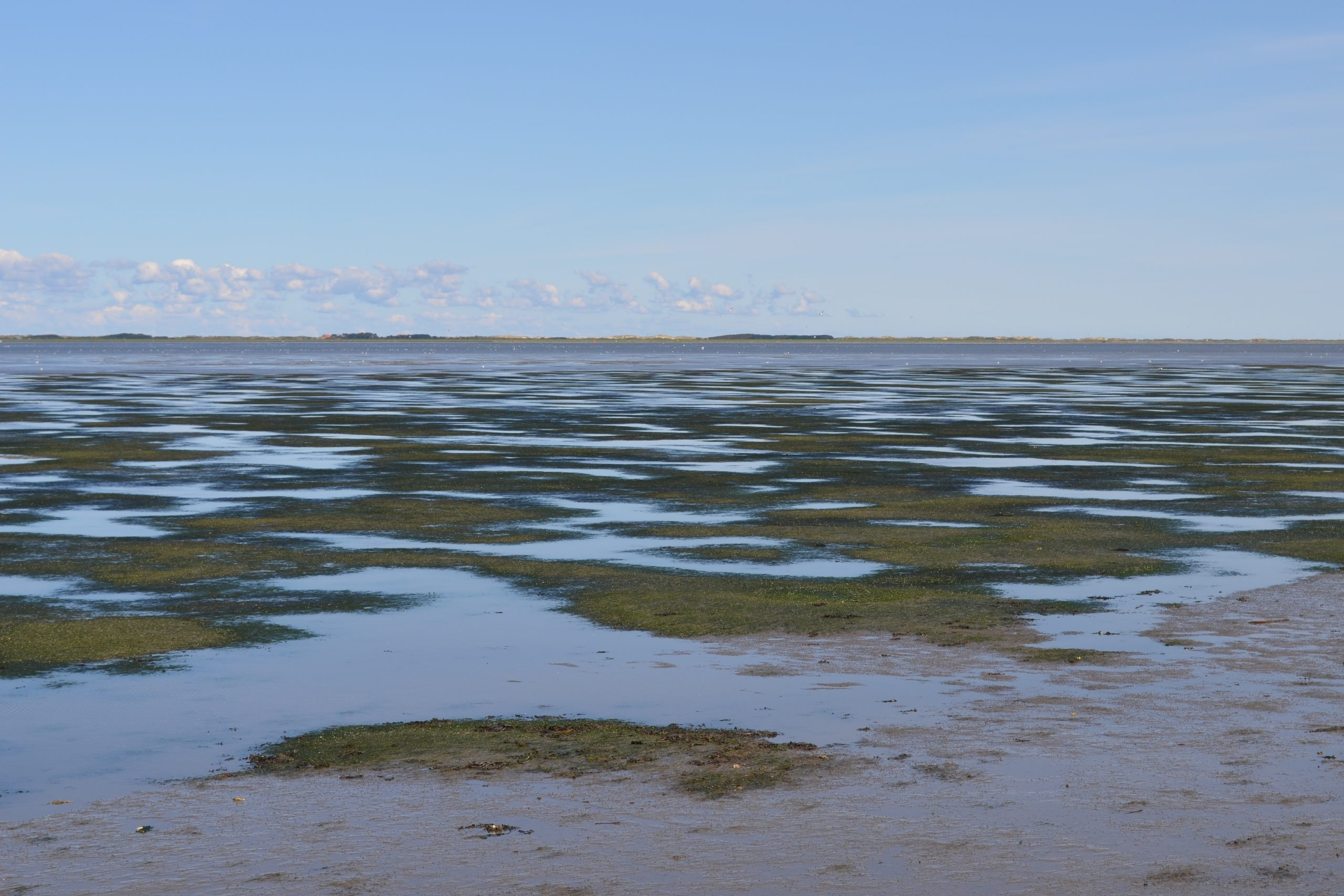 Seegraswiese (Zostera noltei)