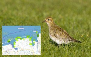 Goldregenpfeifer (Foto: Hans Glader) mit Karte der aktuellen Sichtungen dieser Vogelart im Nationalpark Niedersächsisches Wattenmeer.