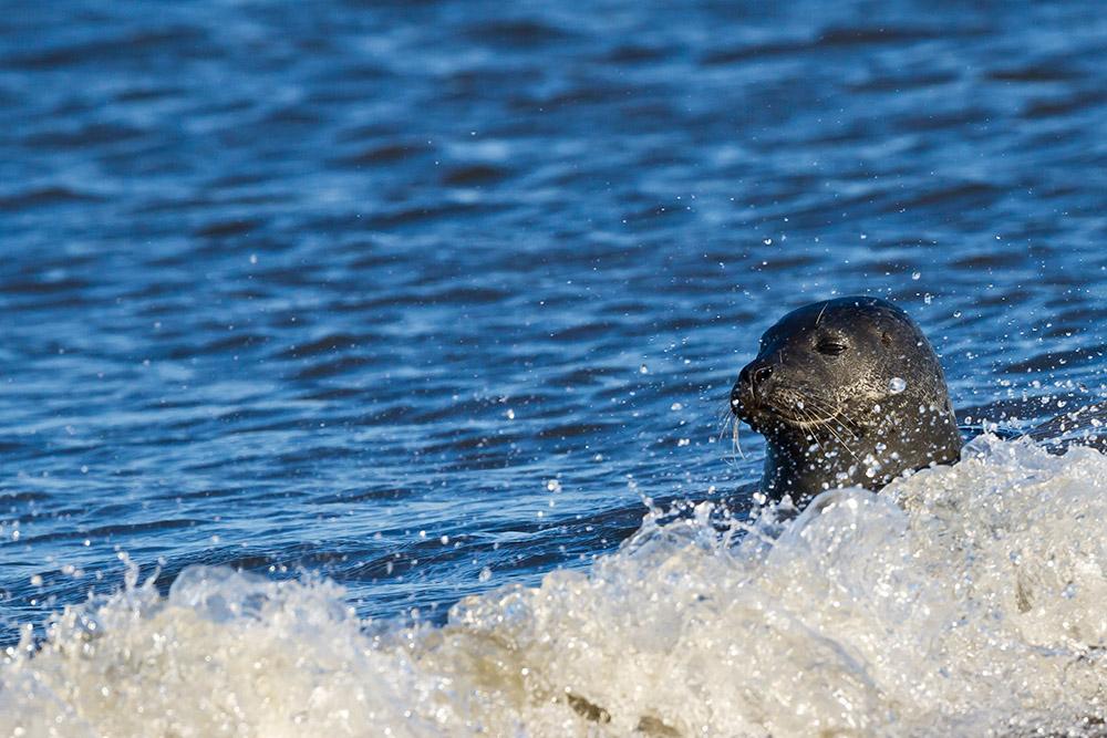 Seehund in der Brandung