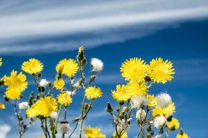 Acker-Gänsediestel-Blüten im Nationalpark