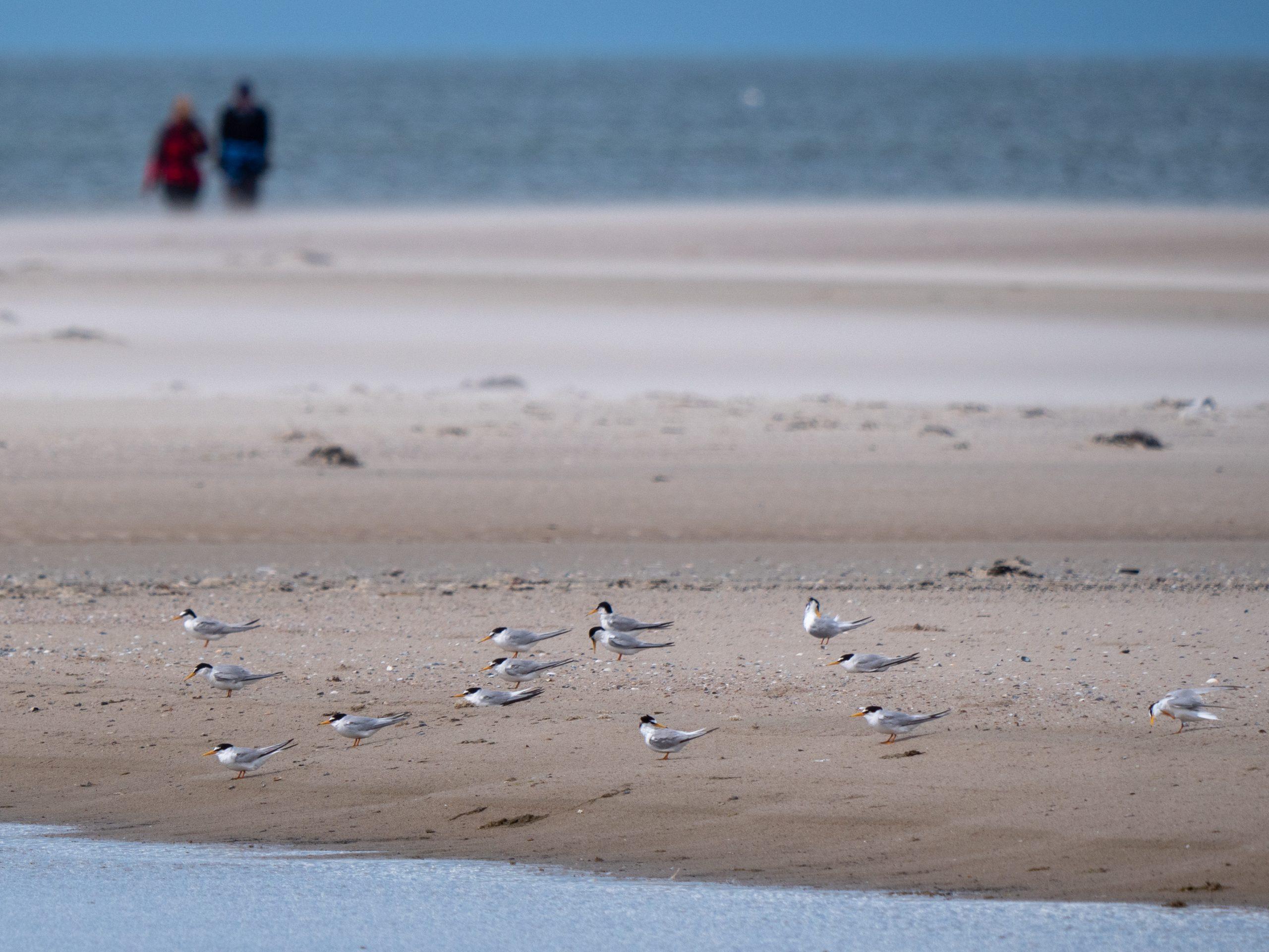 Zwergseeschwalben am Strand von Norderney