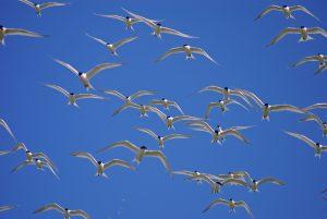 Fliegende Brandseeschwalben. Foto: B. Nannen