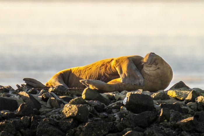 Ruhendes Walross auf Wangerooge