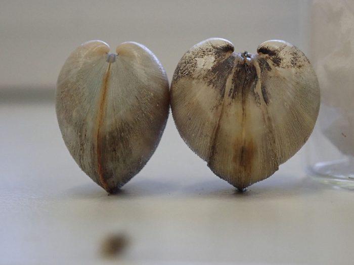 Mulinia lateralis gross